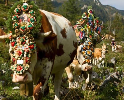 Kuh mit Fuikl, Almwiese